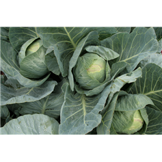 "Primo ""Hearty"" Cabbage"